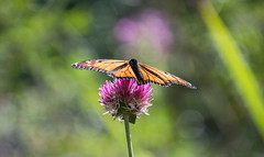 at the park (Dotsy McCurly) Tags: monarch butterfly lavender flower park bokeh nj newjersey nikond750 tamron18400mmf3563 7dwf flora