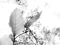 a leaf (Martin.Matyas) Tags: