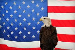 America Icon (cloolis101) Tags: eagle flag america injured