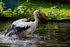 Erfrischendes Bad (jogi311) Tags: naturpark tiere storch dormagen nordrheinwestfalen deutschland de