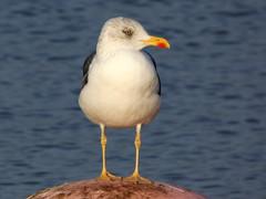 Lesser black back gull (Deanne Wildsmith) Tags: earthnaturelife gull lesserblackbackgull stowepool lichfield staffordshire