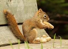Squirrel (Karen_Chappell) Tags: animal mammal nature nfld squirrel redsquirrel bench peanut stjohns longpond grandconcourse canada atlanticcanada avalonpeninsula nut brown newfoundland