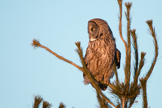 Great Gray Owl in Pine tree