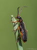 Cantharis flavilabris (Olli_Pihlajamaa) Tags: animalia arthropoda cantharidae cantharinae cantharis cantharisflavilabris coleoptera elateriformia elateroidea hexapoda insecta invertebrata polyphaga eläinkunta erilaisruokaiset hyönteiset kovakuoriaiset kuusijalkaiset niveljalkaiset rantasylkikuoriainen selkärangattomat seppämäiset sylkikuoriaiset inkoo uusimaa finland fi