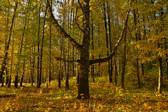 anchor in the golden foliage (МирославСтаменов) Tags: russia moscowregion pushchino reiteration foliage branch tree trunk autumn october forest birch glade
