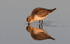 Semi-Palmated Sandpiper (mandokid1) Tags: canon ef400mmdoii 1dx birds shorebirds