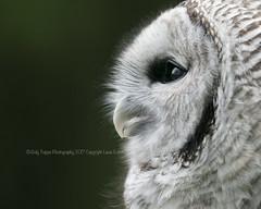 Hoo? (dog ma) Tags: bard owl dog ma macro nikon d750 nikkor 300mm jody trappe photography outdoor autumn fall green