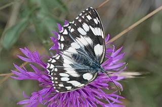 Melanargia galathea (Schachbrett). F, Drome, Crest, L'Escoulin. 2012-07-05 , NGIDn816879303