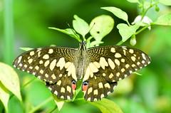 Lime Butterfly (sreejithkallethu) Tags: limebutterfly butterflies nature naturephotography butterfliesofkerala butterfliesofneeravil neeravil kollam kerala