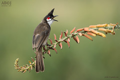 Red Whiskered Bulbul (joisbc) Tags: bulbul whiskered redwhiskeredbulbul birds fauna wildlife bengaluru bird nature