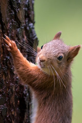 Red Squirrel (Gareth Keevil) Tags: autumn curious cute detail fluffy fluffytail garethkeevil hawes nationalpark nikon northyorkshire red redsquirrel snaizeholme squirrel uk upclose whiskers woodland yorshiredales