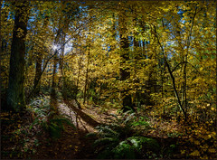 The Leaves Have Turned (Martin Smith - Having the Time of my Life) Tags: theleaveshaveturned sunnysideacres surrey southsurrey vinemaples forest sun firtrees nikond750 samyang14mm28 martinsmith ©martinsmith panorama 3shotpano britishcolumbia canada ca sunshine shadows ferns