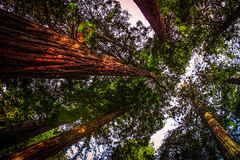 Up there in a Redwood (billbelcher1) Tags: redwoods tree trees leaves
