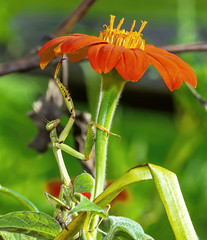 European Mantis (tkclip47) Tags: european mantis insect hunter efficient mexican sunflower blooms garden coth