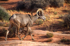 A Ram I Am (tquist24) Tags: mojavedesert nikon nikond3400 outdoor valleyoffirestatepark bighornsheep desert geotagged grass horns nature park ram rocks sand sandstone nevada unitedstates shadows