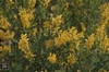 Cytisus madernsis. Madera bloom. Tresco. 1982 (Mary Gillham Archive Project) Tags: 1982 2276 cytisus england island planttree sv8914 scillyisles tresco unitedkingdom gb