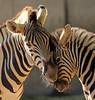 Damara zebra   Duisburg BB2A2492 (j.a.kok) Tags: zebra damarazebra equus herbivore animal afrika africa duisburg mammal zoogdier dier