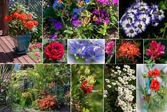 Postcard from My Garden in Akaora (Jocey K) Tags: newzealand nikond750 southisland collage postcard flowers akaora garden rhododendrons azaleas roses daisy chathamislandforgetmeknot geranium clematis cineraria