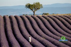 Lavender fields in Provence (P.Ebner) Tags: lavender fields flowering lavanda provenza provence france francia violet valensole