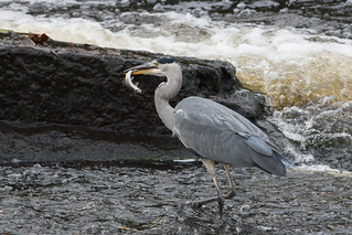Grey heron with a catch
