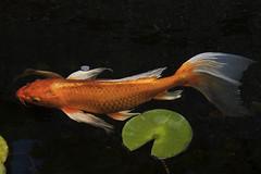 R+D Kitchen (Jay Pasion) Tags: jaypasion nikon d7500 tamron nature fish animals goldfish california water bayarea napa plants