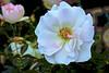 White Rose of Spring! (maginoz1) Tags: rose flowers red yellow white abstract art manipulate curves bullarosegarden alisterclarkmemorialgarden melbourne victoria australia spring october 2017 canon g3x hume