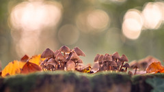 🍄 A family gathering 🍄 (.: mike | MKvip Beauty :.) Tags: sony⍺6500 sonyilce6500 sonyalpha6500 sonyalpha sony alpha emount ⍺6500 ilce6500 carlzeissjenabiotar58mmƒ biotar58mmƒ2 carlzeissjena carlzeiss jena czj zeiss biotar 58mm ƒ2 preset 1q v3 1952 vintagelens vintageprime primelens prime macro makro handheld availablelight naturallight backlight backlighting shallowdof bokeh bokehlicious beyondbokeh extremebokeh smoothbokeh dreamy soft zen nature green orange yellow mushrooms fungi leaf leaves autumn fall wörthamrhein germany europe mth mkvip carlzeissjenabiotar58mmƒ2preset1q ngc npc