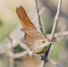House Wren (tresed47) Tags: 2017 201710oct 20171002bombayhookbirds birds bombayhook canon7d content delaware fall folder housewren october peterscamera petersphotos places season takenby us wren