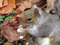 """Autumn Nibbler"" (seanwalsh4) Tags: greysquirrel nature urban innercity nuts burying hiding cabottowerbristol seanwalsh cute nice happy"