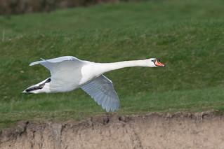 Mute Swan-34
