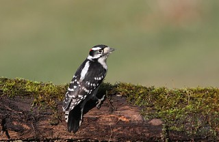 *** Downy Woodpecker / Pic mineur