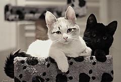 YIN & YANG (z@ri) Tags: white blanc blanco cat bw blackandwhite canon kitten canon1200d 50mm18 pets gatitos yinyang blancoynegro noiretblanc chiens profundidaddecampo