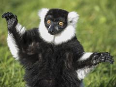 Black and white ruffed lemur (RedPlanetClaire) Tags: black white ruffed lemur mammal furry cute peak wildlife park animals wild leek staffordshire sunshine sunbathing sunning hands