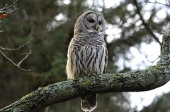 Before the Crows Came (hd.niel) Tags: barred owl nature photography wildlife