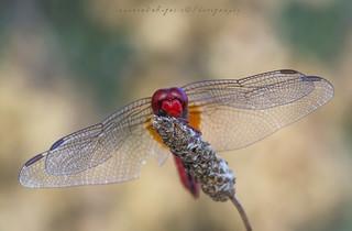 The Fly... Crocothemis erythraea maschio adulto
