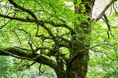 Ireland - Killarney National Park (Marcial Bernabeu) Tags: marcial bernabeu bernabéu ireland irlanda killarney national park parque nacional tree arbol green verde árbol