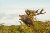 Red Deer Stag bellowing 500_2918.jpg (Mobile Lynn) Tags: reddeer wild landmammals deer nature cervuselaphus fauna mammal mammals wildlife richmond england unitedkingdom gb coth specanimal coth5 ngc specanimalphotooftheday