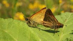 Ochlodes Sylvanus - 35mm Macro (Visual Stripes) Tags: butterflies leaf closeup macro nature 35mmmacro olympus