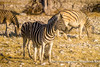 Burchell's Zebras, Ombika Waterhole, Etosha National Park, Namibia (Ulrich Münstermann) Tags: africa afrika burchellszebra etoshanationalpark ferien metazoa namibia ombikawaterhole oshikotoregion plainszebra reise tiere animal animalia animalsanimalia chordata chordates commonzebra dieren equusburchellii equusquagga equusquaggaburchellii game gamedrive holiday mammalia mammalsmammalia quagga reizen safari travel vakantie wildlife zebra