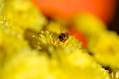 I like yellow (Mr. Sim007) Tags: pollen yellow nikond700 nature macro insect hornet