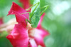 Esperança - @aalcantara04 (@AAlcantara04 >> instagram) Tags: florvermelha esperança flordodeserto gotasemfolha macrofotografia macrodeinseto verde
