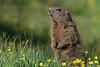 Murmeltier 17033 (bertheeb) Tags: murmeltier wildtiere nikon d750 500mmvr