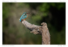 L'Allier sauvage - Martin pêcheur (BerColly) Tags: france auvergen puydedome allier riviere river oiseau bird martinpecheur commonkingfisher bercolly google flickr