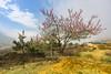 _J5K0477.0214.Nhìu Cồ San.Y Tí.Bát Xát.Lào Cai. (hoanglongphoto) Tags: asia asian vietnam northvietnam northwestvietnam landscape scenery vietnamlandscape vietnamscenery vietnamscene spring sky bluessky mist flower peachblossom morning sunny sunnymorning village house home canon canoneos1dsmarkiii tâybắc làocai bátxát ytí nhìucồsan phongcảnh mùaxuân ytímùaxuân buổisáng bầutrời bầutrờimàuxang sươngmù nắng nắngsớm hoa hòađào bảnlàng nhà zeissdistagont3518ze