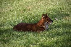 Dhole (tim.perdue) Tags: wilds nature preserve conservation center cumberland ohio olympus omd em10ii tamron 14150mm animal mammal canine dhole african wild dog fox