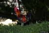 Canon269440 (godrudy6661) Tags: neworleans darktable ninthward chicken rooster