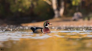 ''Promenade matinale!'' Carnard branchu-Wood duck