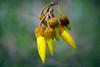 Kōwhai. (Sophora spp) (Bernard Spragg) Tags: kowhaisophoraspp blooms flora lumixfz1000 bridgecamera yellow plants trees newzealandplants flickrlovers