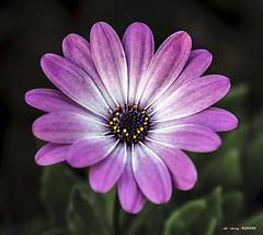 Lorea (Jabi Artaraz) Tags: jabiartaraz jartaraz zb euskoflickr lorea flor flower color macro nature natur naturesfinest