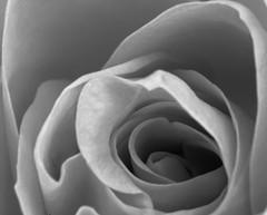Orange Rose, using my Macro tubes. 😁📷😁 (LeanneHall3 :-)) Tags: blackandwhite rose rosepetal petals flower closeup closeupphotography macrotubes macro canon 1300d